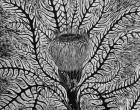 banksia-web