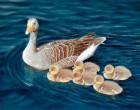 Greylag-geese-1500